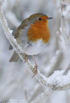 Robin in snow: Animals, Winter, Poultry, Wall Calendar, Robins, Beautiful Birds