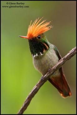 Rufous-crested Coquette, a species of hummingbird found in Bolivia, Colombia, Ecuador, Panama, and Peru | Glenn Bartley: B Z Coquette Hummingbirds, Beautiful Hummingbirds, Birds Hummingbird, Beautiful Birds, Animals Birds, Bird Photography