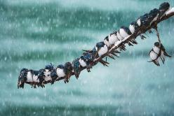Seemingly Surreal Swallows in a Spring Snowstorm by Keith Williams, via 500px: Animals, Winter, Nature, Feathered Friend, Photo, Birds