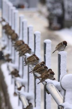 Sparrows: Fence, Animals, Nature, Winter Wonderland, Snow, Birds, Photo, Sparrow