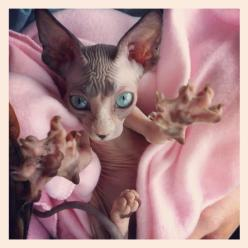 Sphynx- this cat could star in a movie like gremlins- little scary things.: Sphynx Cats, Animals, Hug, Scary Things, Hairless Cats, 640 640 Pixels, Star, Movie, 600 600 Pixels