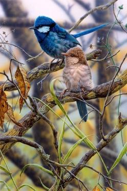 SPLENDID FAIRY WRIENS ❤Only in birds and animals are the males the most colorful and prettiest!: Fairy Wrens, Google, Splendid Fairy, Poultry, Beautiful Birds, Christopher Pope, Animal