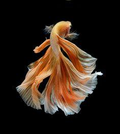 Strikingly Beautiful Siamese Fighting Fish Dance in Dark Waters (12/13)