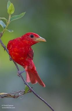 Summer Tanager is the only entirely red bird in North America & inhabits southern forests. It winters in Central and South America.: Birds Feathered Friends, Birds Tanagers, Animals, Wings, Aves Birds, Amazing Birds, Tanager Birds, Beautiful Birds