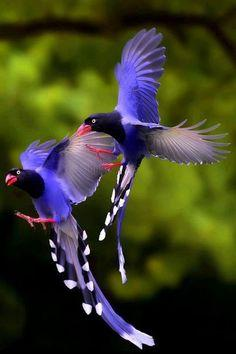 ♂ Taiwan Blue Magpie | Amazing Nature