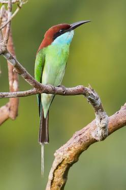 The Blue-throated Bee-eater (Merops viridis) is a species of bird in the Meropidae family. It is found in Brunei, Cambodia, China, Hong Kong, Indonesia, Laos, Malaysia, the Philippines, Singapore, Taiwan, Thailand, and Vietnam.: Colorful Birds, Bedazzling