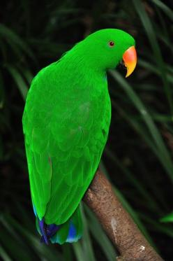 The Eclectus Parrot, Eclectus Roratus, is a parrot native to the Solomon Islands, Sumba, New Guinea and nearby islands, North Eastern Australia and the Maluku Islands.: Parrots, Birds, Animal