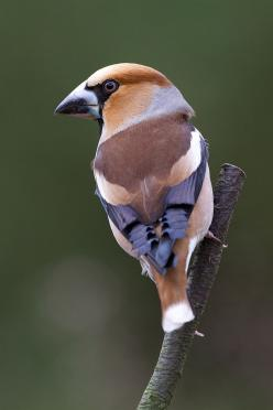 The Hawfinch (Coccothraustes coccothraustes) is a passerine bird in the finch family Fringillidae.: Of Birds Birds, Birds Finches, Hawfinch Songbird, Nature Birds, Tom Kruissink, Bird Hawfinch, Beautiful Birds, Photo