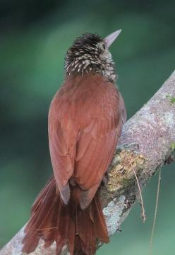 The Straight-billed Woodcreeper (Dendroplex picus) is a species of bird in the woodcreeper subfamily (Dendrocolaptinae). Its genus, Dendroplex, was recently confirmed to be distinct from Xiphorhynchus. It is found in Bolivia, Brazil, Colombia, Ecuador, Fr