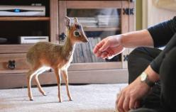 This is a dik dik...unfortunate name, but so cute!!!! It's technically an antelope, but it's close enough to a deer. :) They can grow to anywhere from 8 inches to 16 inches and weigh 15-17 lbs. LOVE.: Dikdik, Pet, Cutest Animals, Things, Baby Dik,