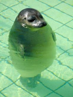This makes me smile!: Swimming Pools, Fat Seal, Water Aerobics, Sea Lions, D Awww, Chubby Seal, So Funny, Animal, Baby Seal