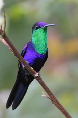 Violet-crowned Woodnymph, photographed in Costa Rica by Greg Lavaty - Pixdaus: Animals, Woodnymph Hummingbird, Beautiful Birds, Hummingbirds