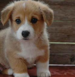 What is cuter in the world than a baby Corgi? Nothing!: Baby Corgy, Corgi Puppyyyy, Animals, Welsh Corgi Puppies, Dogs, Favorite Things, I Love Puppies, Baby Corgis, Baby Corgi 3
