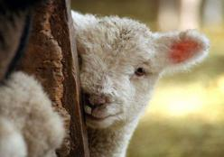 When you eat babies like me, little ones who  are separated from their mothers, the meat is saturated with sorrow and the day  after, you will be massively depressed and  not have a clue why. Veal.Lamb!!!! TOO FULL OF DEPRESSION!: Farm Animals, Lambs, Bib