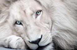 .: White Lions, Animals, Big Cats, Nature, Bigcats, Beautiful, Creatures, Whitelions, Eye