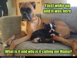 Why is it calling me mama: Animals, Dogs, Stuff, Funny, Boxers, Boxer Pillow, Boston Terriers, Friend