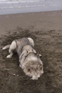 Why Not! The Ostrich Does It!: Animals, Moonmoon, Dogs, At The Beach, Husky, Wolves, Moon Moon, Friend