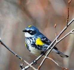 Yellow rump warbler-aka butter butts!  Waiting for our spring migration!  Had a lil sweetie last year....: Butter Butt, Animals, Yellow Rumped Warbler, Yellow Rump Warbler, Beautiful Birds, Photo