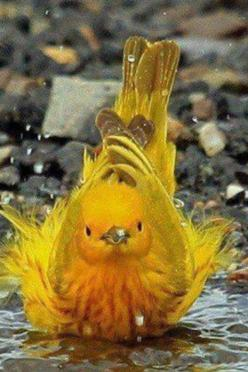 Yellow Warbler.Seen diffeerent birds just doing the same thing up in rv awesome sights,of Gods little feather friends.SO adorable.: Animals, Nature, Yellow Warbler, Beautiful Birds, Photo, Yellow Birds, Bath Time