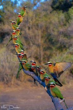 ~~19 in 1 ~ White fronted bee-eaters make use of a perch above their colony by Mike Dexter~~: Animals, Nature, Poultry, Color, Beautiful Birds, Photo