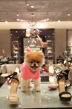 """Boo, the World's Cutest Dog"" goes to Nordstrom for a photo op.: Shoes, Boo Dog, Cutest Dogs, Puppy, Dog Boo, Photo, Animal"