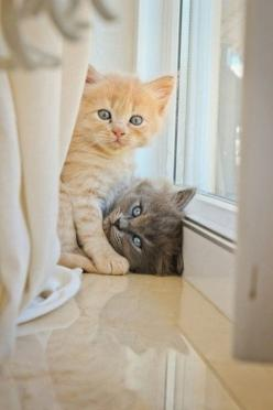 """Look human, can you not see I'm trying to make love here! We want our own batch of kitties were not going to adopt! Now before things get ugly, close the curtain and lemme finish,"": Kitty Cats, Animals, Pets, Kitty Kitty, Adorable, Sweet Kitt"