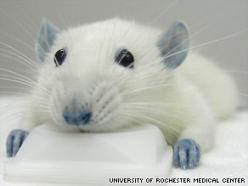 """Same blue dye in M&Ms linked to reducing spinal injury...The only side effect was that the treated mice temporarily turned blue."": Blue Rat, Dye, Blue Color, Food Coloring, Coloring Blue, Rodent, Rats, Animal"