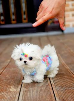6 Adorable and funny dressed up pets, aww look at this sweetie :): Animals, Maltese Puppies, Dogs, Maltese Puppy, Teacup Maltese, Pets, Puppys