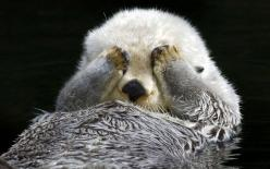 A shy sea otter hides from the camera while it grooms itself  Picture: TOM AND PAT LEESON / ARDEA / CATERS NEWS: Picture, Cuteness, Animals, Creature, Peek A Boos, Seaotter, Peekaboo, Sea Otters