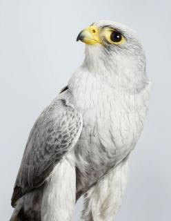 Ash - Grey Falcon aka Smoke Hawk - Leila Jeffreys - Australia  Ash is the only Grey Falcon in captivity in the world.  This extremely rare bird was found injured by two wildlife photographers. His left wing had to be partly amputated so Ash cannot be retu