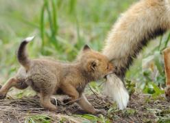 Baby!: Babies, Cutenes, Adorable, Things, Baby Animals, Baby Foxes, Mom
