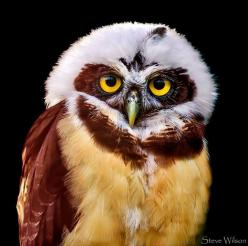 Beautiful Spectacled Owl!: Hoot Owls, Animals, Hoot Hoot, Speckled Owl, Beautiful Birds, Young Spectacled