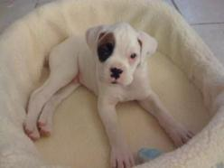 Because white boxers are adorable.: Boxer Dogs, White Boxer Puppies, Pets, Puppys, Boxer Love, White Boxers, Animal