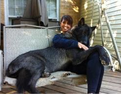 Black wolf hybrid. --- GIMME ONE. One day I want a dog so big that people are actually afraid to come near my house.: Animals, Black Wolf, Dogs, Pet, Wolf Hybrid, Wolfhybrid, Black Wolves