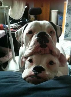 Boxer pile - silly babies always want to be in a pile, a stack, or a huddle. Love that.: Stackable Boxers, American Bulldogs, Boxer Dogs, Animals, Pets, Puppy, Boxer Babies, Friend