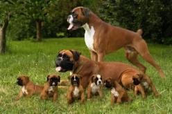 Boxers are the best dogs in the world. I want one, or seven.: Animals, Boxer Dogs, Pet, Boxer Family, Puppy, Boxers, Families, Friend