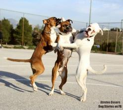 Boxers! Dancing for joy.: Doggies Dogs, Boxer Dogs, Funny Dogs, Animals Puppy, Cute Animals, Boxers, Dog Funnies, Dogs Funny, Cute Dogs