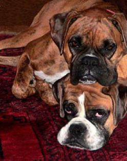 Boxers have this thing about being in a pile....have you ever seen so much love and slobber in one place at one time??  SH --- dont u just love their faces! :): Pile Have, Face, Boxer Dogs, Dogs Boxers, Boxer Pictures, Place, Animal