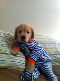 cannot get over this.: Animals, Dogs, Golden Retrievers, Pets, Puppys, Pjs, Puppy, Adorable