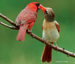 cardinal mates; the red male feeds his mate when she is pregnant in early spring...so sweet!: Magazine, Redbird, Northern Cardinals, Birdie, Backyard Birds, Wildlife, Cardinals Beautiful Birds