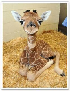 Cutest face!: Babies, So Cute, Baby Giraffes, Pet, Adorable, Baby Animals, Cute Babies, Photo