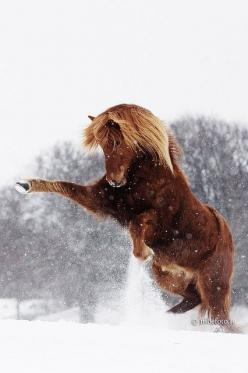 Equine horse pony equestrian caballo pferde equestrian stallion gelding mare foal: Beautiful Horses, Gorgeous Horse, Horses In The Snow, Horses In Snow, Icelandic Horse, Charging Animals, Animals Horses