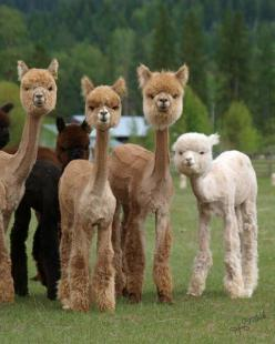 freshly sheared alpacas: Animals, Stuff, Funny, Adorable, Baby Alpaca, Shaved Llamas, Things, Shaved Alpacas, Sheared Alpacas