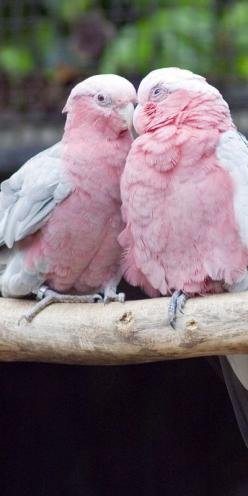 Galah Cockatoo, also known as the Rose-Breasted Cockatoo ~ Pink Pretties: Things Pink, Animals, Nature, Color, Pink Birds, Beautiful Birds, Pretty