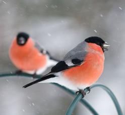 I wish I'd seen a bullfinch during my Big Garden #Birdwatch. Oh well, there's always next year!: Animals, Birdie, Pretty Birds, Beautiful Birds, Color Palette