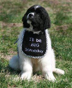 Ill Be BIG Someday - Puppy Sized: Awe Babys, Short Sayings, Animals About Dogs, Adorable, Animals 3