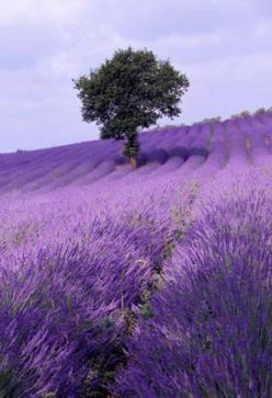 Lavender field ~ France ~ Imagine how good it would smell to walk through that field...: Purple, Lavender Fields, Nature, Color, France, Place, Flowers, Lavender