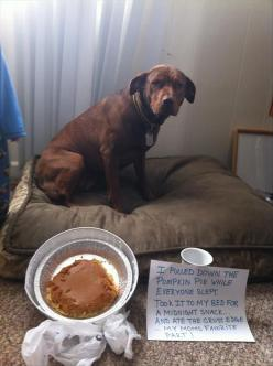 Look at that face!: Dog Shaming, Funny Dogs, Bad Dog, Funny Picture, Funny Animal, Pumpkin Pies, Pet Shaming