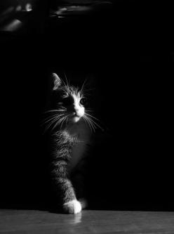 love the light and shadow here!: Kitty Cats, Kitten, Black White Cats Photos 7, Feline, Animal