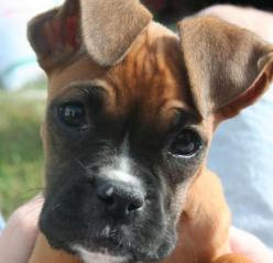 love when their ears do this---save the floppy boxer ears!!: Face, Animals, Boxer Dogs, Boxer Puppies, Puppys, Boxers